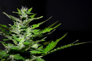 Medical Marijuana: Facts, Effects And Legality
