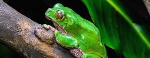 Learn About the Kambo-Containing Frog Phyllomedusa Bicolor