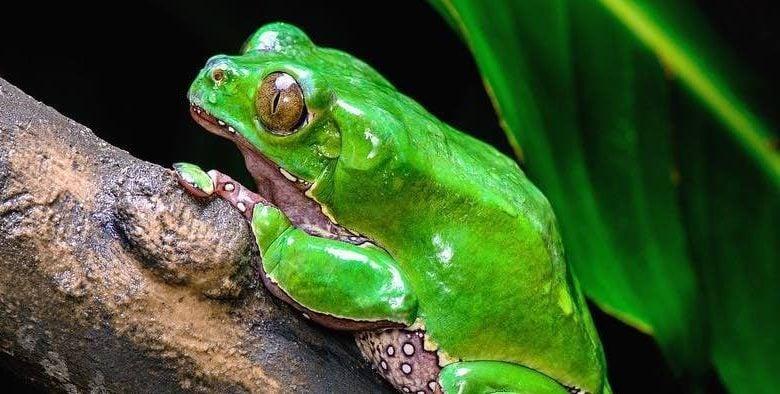 Image of a Giant Waxy Monkey Frog (Phyllomedusa bicolor) sitting on a tree limb