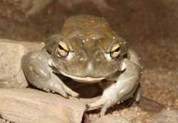 Colorado River Toad (Bufo alvarius)