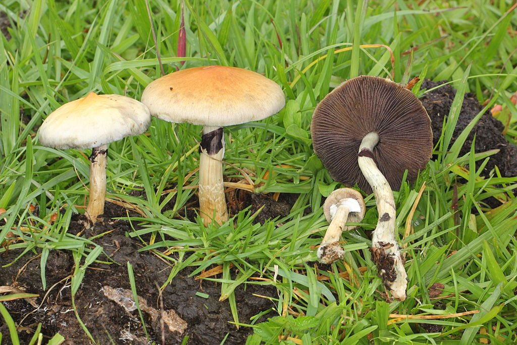 Psilocybe Cubensis in its natural habitat