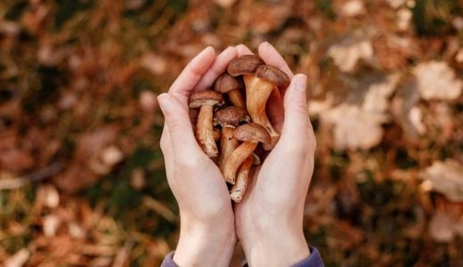 Mushrooms,In,Hands.,Picking,Mushrooms.,Gifts,Of,The,Forest.,Hands