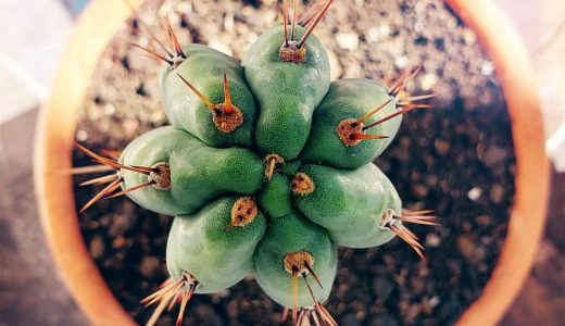 Cactus,San,Pedro,,Homegrown,Psychedelic,Plant,,Mini,Garden