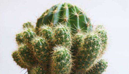 San,Pedro,Cactus